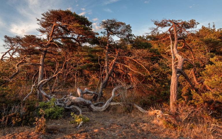 Träd i magiskt ljus vid solnedgång på Gotland